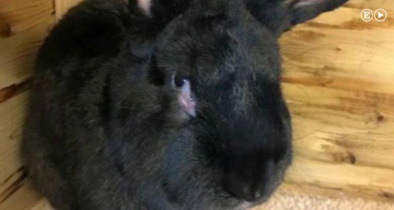 Simon, o coelho gigante que morreu em um voo de United Airlines.