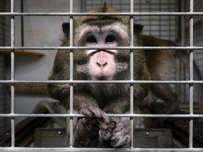 Mico em uma gaiola do laboratório Vivotecnia, em Madri, fechado por investigação de maus-tratos de animais.