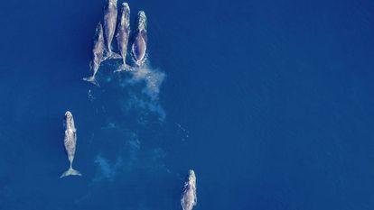 Algumas baleias-boreais deixaram de migrar para o sul e passam o inverno no norte do Alasca.