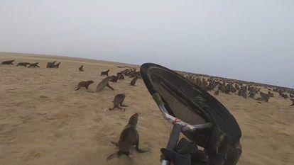 Resgate de lobos marinhos na Namíbia pela OCN.