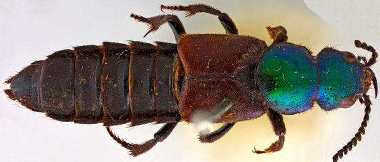 Escaravelho Darwinilus sedarisi.