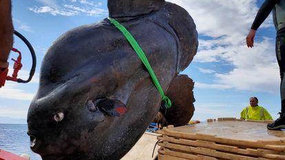 Exemplar de peixe-lua de quase três metros capturado em Ceuta.