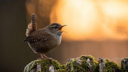 Um pássaro canta durante o pôr do sol.