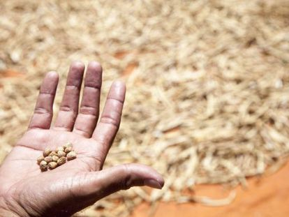 Um agricultor paraguaio com grãos de bico.