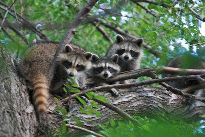 O guaxinim está entre os mamíferos que portam mais zoonoses.
