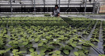 O setor do tabaco contempla com esperança qualquer uso alternativo da planta.