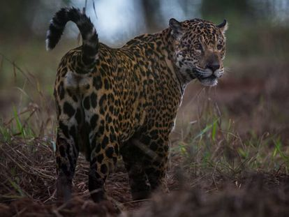 Uma onça pintada no Pantanal.