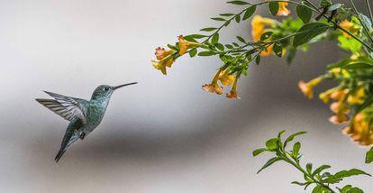 Um beija-flor, espécie fundamental para a polinização de flores no planeta, em especial na América do Sul.