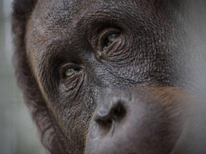 Um orangotango resgatado.