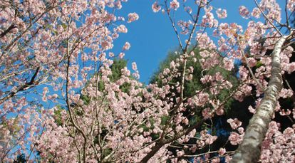 Cerejeiras no Parque do Carmo, em São Paulo.