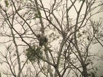 Filhote de harpia voando em direção ao seu ninho na Amazônia brasileira.