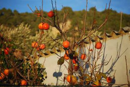 Caquis no pomar de um povoado de Valldemossa (Mallorca, Ilhas Baleares)