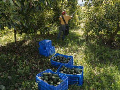 Um trabalhador corta abacates em uma plantação.