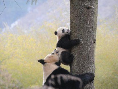 Um panda gigante ajuda o seu bebê a subir em uma árvore em Hetaoping (Chinesa), em 27 de janeiro de 2016.