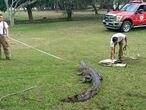 Integrantes del grupo S.O.S Codrilo de Tampico capturan a un cocodrilo, en mayo de 2021.