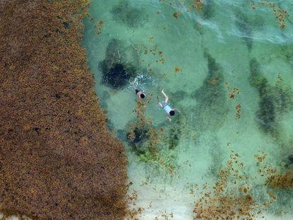 A alga que escurece a vida no Caribe mexicano