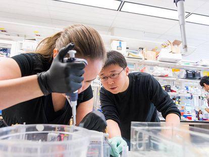 Feng Zhang trabalha em seu laboratório com a estudante Silvana Konermann.
