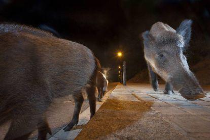 Um grupo de javalis procura comida numa rua de Barcelona.