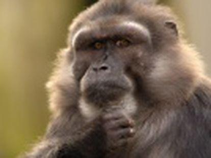 Macacos de espécie pequena confortam os outros após agressão, comportamento só ocorria entre pessoas e grandes macacos