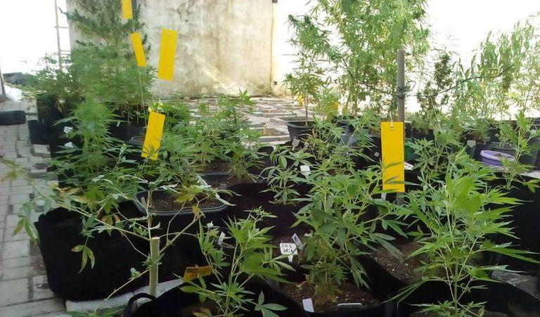 Plantação da Abrace, única entidade que conquistou na Justiça o direito de produzir Canabidiol no Brasil.
