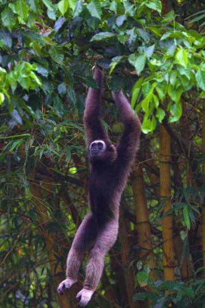 Desmatamento está deixando sem espaço muitas espécies do sudeste asiático, como o gibão-cinza