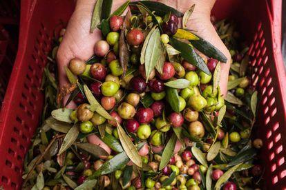 Colheita das oliveiras em produção artesanal