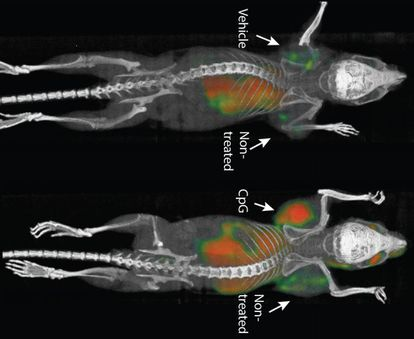 Os pesquisadores injetaram os agentes dentro de tumores localizados, mas os efeitos podiam chegar a todo o corpo.