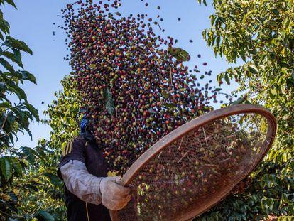 Agricultor durante a colheita de café em Guaxupé.
