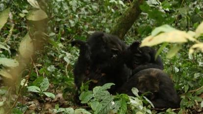 Momento em que os chimpanzés do grupo dos ocidentais lincham 'Erroll' até a morte.