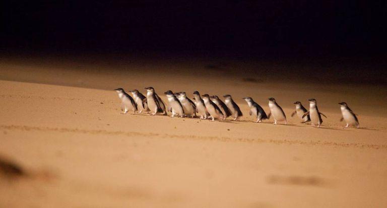 Pinguins-anões na costa sul da Austrália.