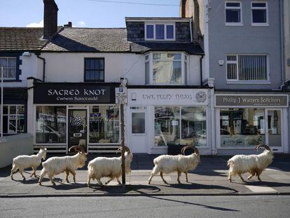 Um grupo de cabras montesas anda pelas ruas de Llandudno, em Gales.