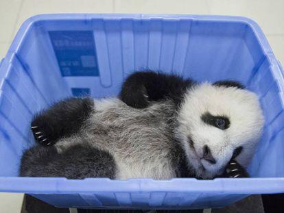 Como a China evitou a extinção do panda