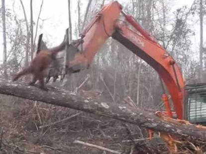 O orangotango diante de uma escavadeira na Indonésia.