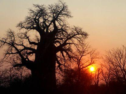 Os melhores locais do mundo para ver baobás (antes que desapareçam)