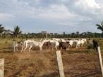 Gado em uma propriedade dentro da Reserva Rio Ouro Preto, em Rondônia, em julho de 2019.