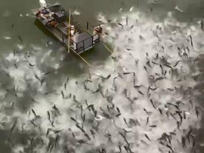 O impactante vídeo do eletrochoque contra a invasão de carpas asiáticas nos EUA
