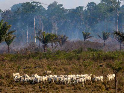 Gado pasta em frente a uma área de queimada em Novo Progresso, no Pará, no final de 2019. Até hoje a região é uma das mais críticas de devastação da floresta