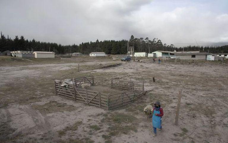 Um agricultor conduz a suas ovelhas em Mulaló, Equador.