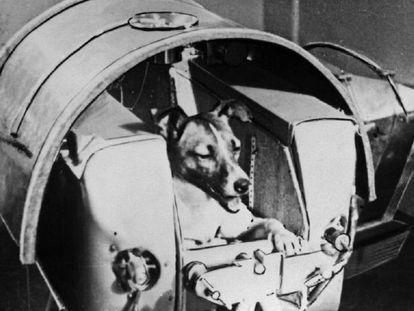 A cadela Laika pronta para decolar