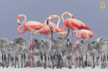 Um flamingo rosado caribenho adulto alimenta seu filhote em Yucatán, México.