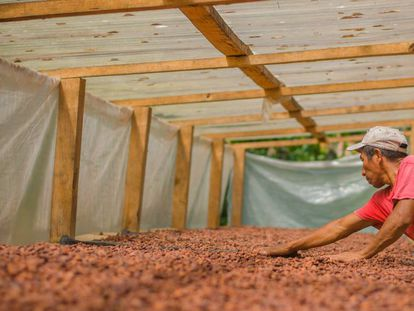 Agricultor seca cacau na Guatemala.