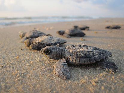Filhotes de tartaruga tendem a comer mais plástico que as adultas.