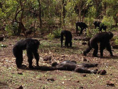 Vários chimpanzés examinam o cadáver de Foudouko.