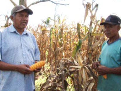 Um campo de milho no Paraguai.