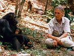 Jane Goodall salvando chimpanzés em 1987.