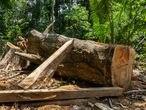 Un árbol talado, presuntamente de forma ilegal, en la Amazonia peruana.