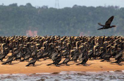No Tabuleiro, as manhãs do inverno amazônico começam com uma companhia de biguás fazendo seu balé ancestral