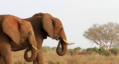Elefantes no parque nacional Tsavo (Quênia), onde vivia Satao, que foi morto com flechas envenenadas em maio deste ano.