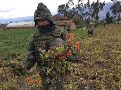 Militares no Equador destroem um campo de papoulas.