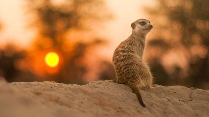 Um suricato solitário no deserto do Kalahari.